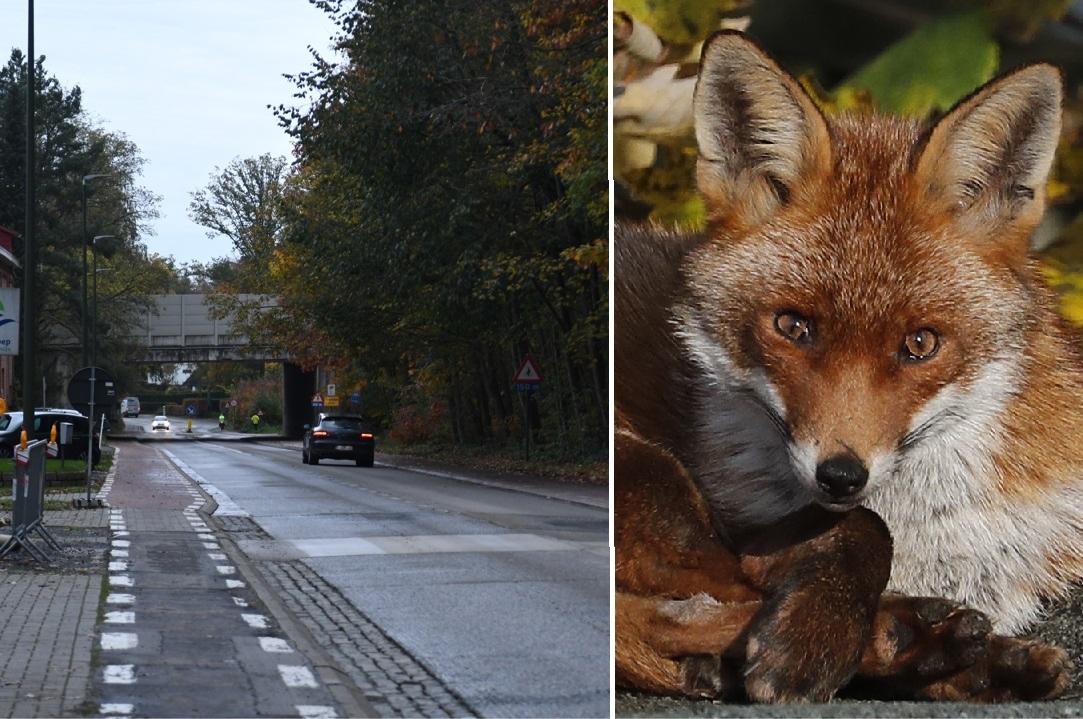 """Agressieve vos gaat achter fietsers aan: """"Hij volgde mijn dochter en beet naar haar benen"""""""