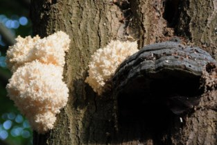 Zeer zeldzame paddenstoel ontdekt in Lier