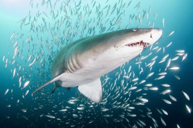 Hand van vermiste toerist teruggevonden in maag gevaarlijke haai