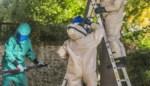 Nest Aziatische hoornaars onschadelijk gemaakt en dat doe je zo