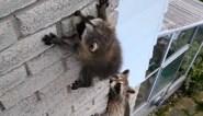 Bange wasbeer komt vast te zitten aan hoog gebouw tijdens beklimming, tot de moeder ingrijpt