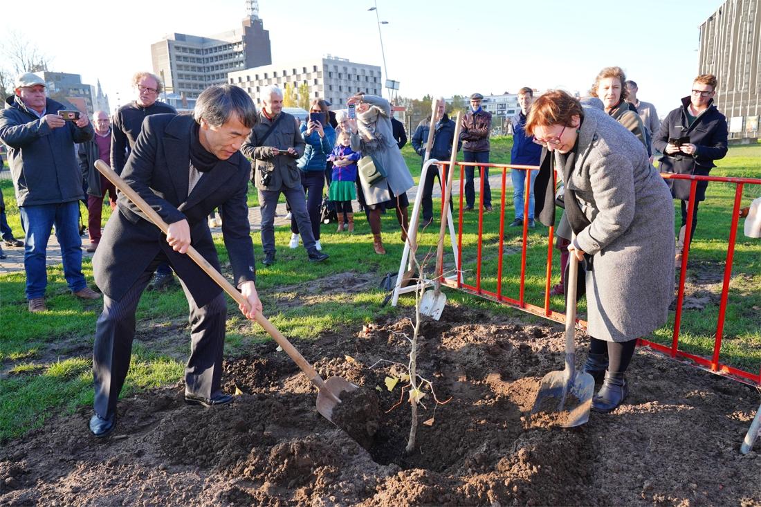 Boompje dat atoombom overleefde in Gent geplant