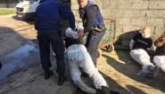"""Eigenaar eendenkwekerij ontzet na actie dierenrechtenactivisten: """"Al 183 eenden gestorven omdat ze door deze onbezonnen actie in shock zijn gegaan"""""""