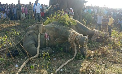 Dodelijke olifant 'Ben Laden' gevangen na klopjacht