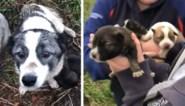 Vrijwilligers treffen gedumpte puppy's in plastieken zak aan, en daar blijft het niet bij