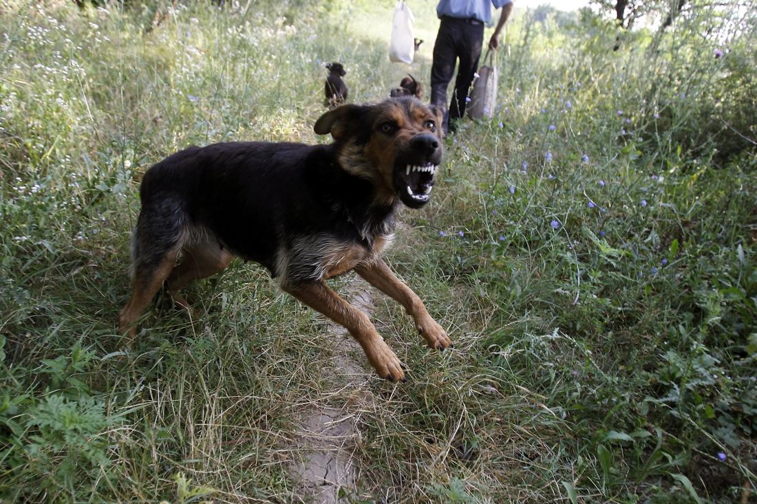 Celstraf geëist nadat hond uitbreekt en andere hond aanvalt - Het Nieuwsblad