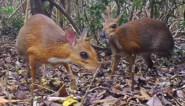 Kleinste hoefdier ter wereld voor het eerst in dertig jaar gespot