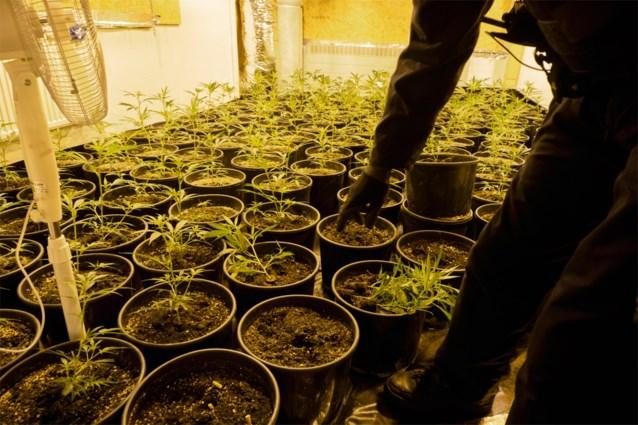Politie treft in huurwoning in Bilzen honderden uitgedroogde wietplanten aan