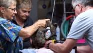 Te traag om zelf te ontsnappen aan de vlammen: alle hens aan dek om Australische koala's te redden