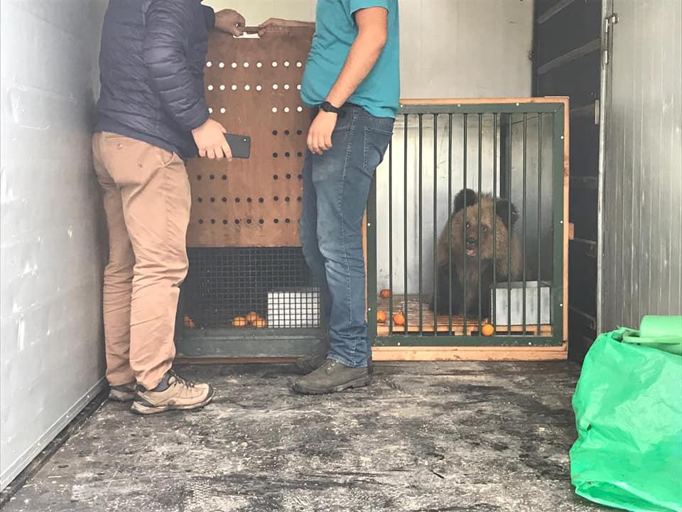 Van de dood geredde Albanese weesbeertjes onderweg naar Natuurhulpcentrum