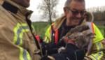 Brandweer redt Nederlandse buizerd uit prikkeldraad