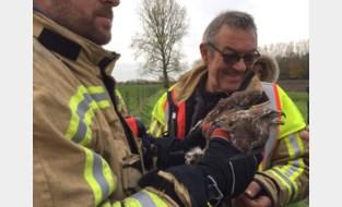 Brandweer Lo-Reninge redt Nederlandse buizerd in Alveringem