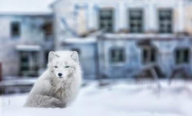 Het spookstadje met meer ijsberen dan inwoners, waar de doden begraven geen optie is