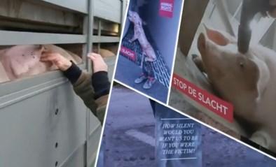 Animal Rights voert actie aan Tielts slachthuis