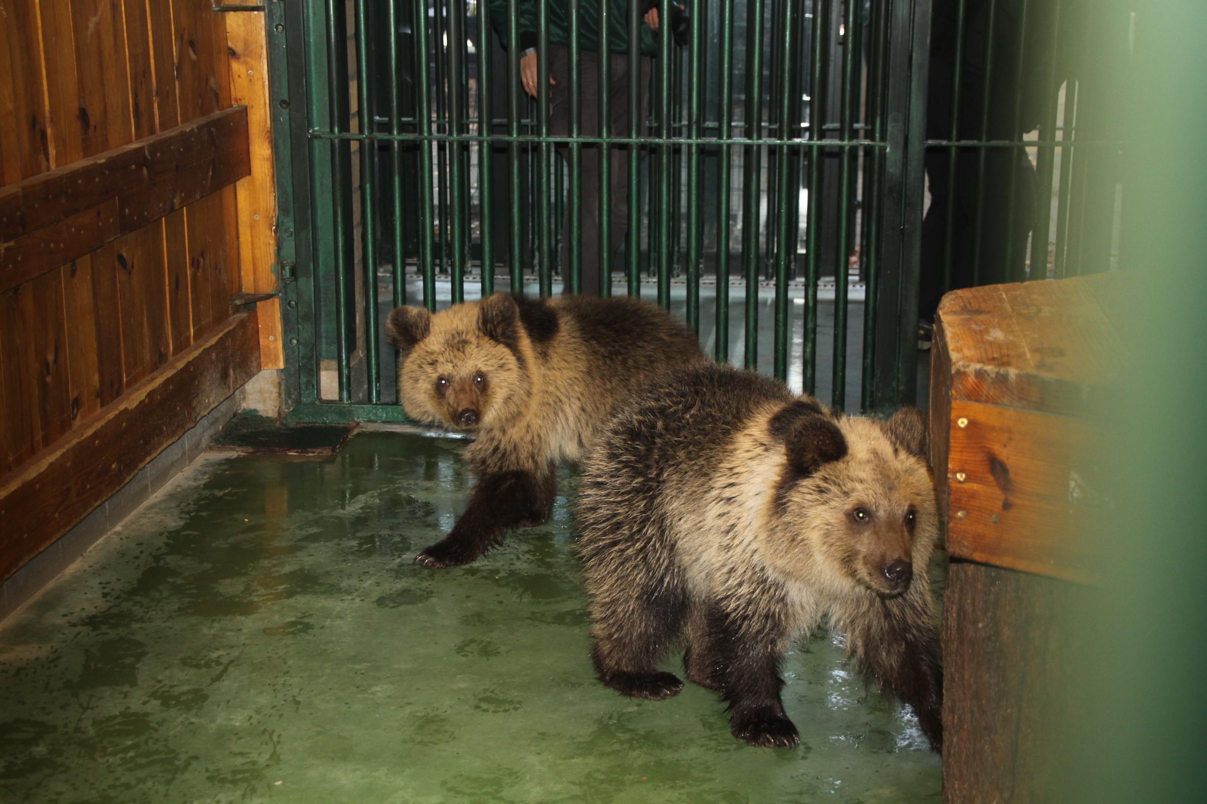 Natuurhulpcentrum zoekt nieuwe thuis voor twee Albanese beertjes
