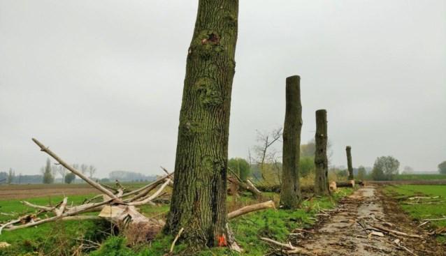 Dode populieren geveld, stammen blijven voor vleermuizen