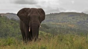 Dringende actie nodig: geen Afrikaanse olifant meer in 2040