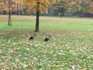 Hadada-ibissen strijken neer in gemeentepark van Schoten