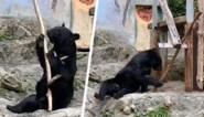 Deze 'Kung Fu Beer' in dierentuin weet hoe hij bezoekers kan entertainen met opmerkelijke trucjes