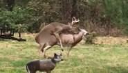 Bronstig hert kiest verkeerde partner en schrikt zich een hoedje wanneer het misloopt