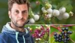 Bartel Van Riet gaat op zoek naar de vurigste bessen voor in de tuin