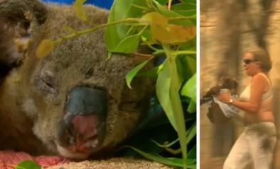 Verbrande koala herenigd met reddende engel