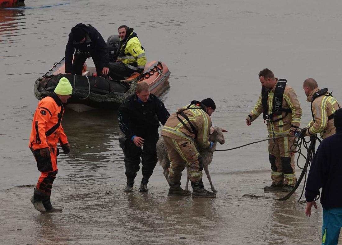 FOTO. Brandweer en vissers redden zwemmend schaap uit havengeul