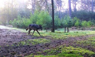 Schaap doodgebeten in weide: laat wolf August weer van zich horen?