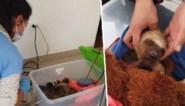 """Baby luiaard wordt slachtoffer van houtindustrie: """"Hun pootjes worden zelfs afgehakt"""""""