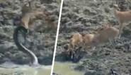 Kudde herten denkt rustig water te kunnen drinken, tot bloeddorstige python razendsnel toeslaat