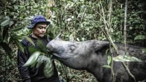 Laatste Sumatraanse neushoorn in Maleisië is dood