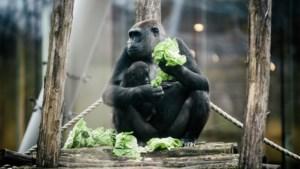 Dubbel feest bij gorilla's in Antwerpse Zoo: Thandie viert eerste verjaardag, Mambele is zwanger