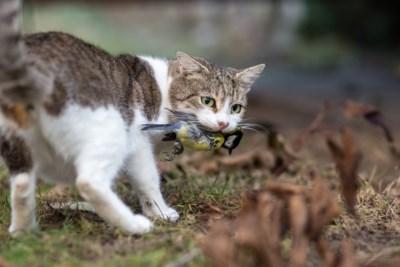 Je kat in de tuin laten is niet alleen een gevaar voor vogeltjes, het is ook een overtreding. Moet je vrezen voor boetes?