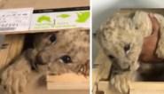 Verrassing tijdens inspectie bij pakjesbedrijf: politie ontdekt schattig leeuwenwelpje in houten doos