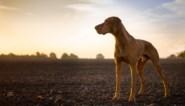 Indiase boer beschildert zijn hond om apen af te schrikken