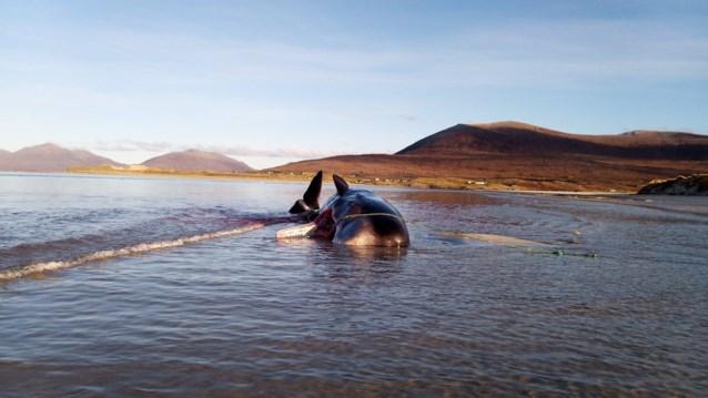 """Dode walvis aangespoeld: """"Uitgehongerd omdat zijn maag vol zat met afval"""""""