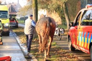 Eigenaar redt met gevaar voor eigen leven paard uit brandende stal