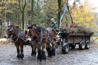 Trekpaarden helpen bij beheer van heidevelden