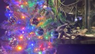 Sidderaal krijgt belangrijke job in aquarium: zijn lichaam doet de kerstboom schitteren