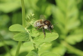 Meer dan helft van bijensoorten in ons land is verdwenen of met uitsterven bedreigd