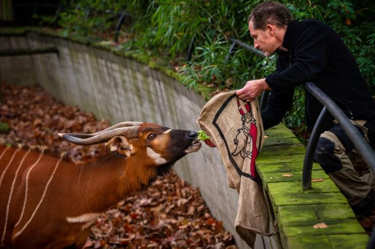 Sprotjes, komkommer en sprinkhanen: zo beloont Sinterklaas de dieren in de Zoo en Planckendael