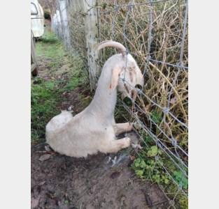 Extreme dierenverwaarlozing: politie vindt elf dode schapen en geiten in weide bij veehandelaar
