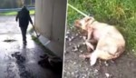 """Hond overlijdt nadat baasje haar over de grond sleept omdat ze """"beviel van zes puppy's"""""""