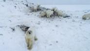 """Uitgehongerde ijsberen trekken massaal dorpje binnen op zoek naar voedsel: """"Ze zijn bijna allemaal veel te dun"""""""