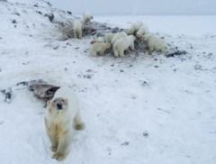 Uitgehongerde ijsberen trekken massaal dorpje binnen