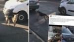 Gedumpte hond zit auto van eigenaar achterna
