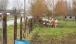 Na jacht op ontsnapte bok rukt politie nu ook driemaal uit voor zelfde paard