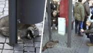 """""""Dronken"""" wasbeer heeft veel bekijks op kerstmarkt, maar wordt nadien gevangen en doodgeschoten"""