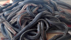 Duurder dan ivoor of zilver: Europol vecht tegen internationale smokkel van paling