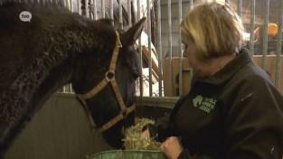 Zwaar verwaarloosde paarden uit Brugge opgevangen in Laarne